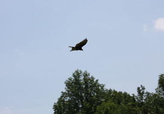Hawk soaring above the trees